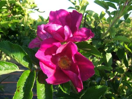 rosa-irina